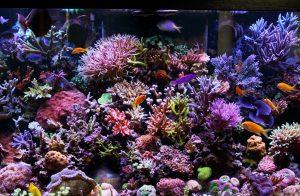 CA MG KH trong bể cá biển