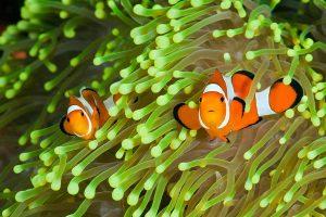 Cá hề (Nemo) – những điều bạn cần biết